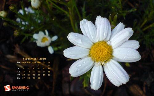 My-daisy in Desktop Wallpaper Calendar: September 2010
