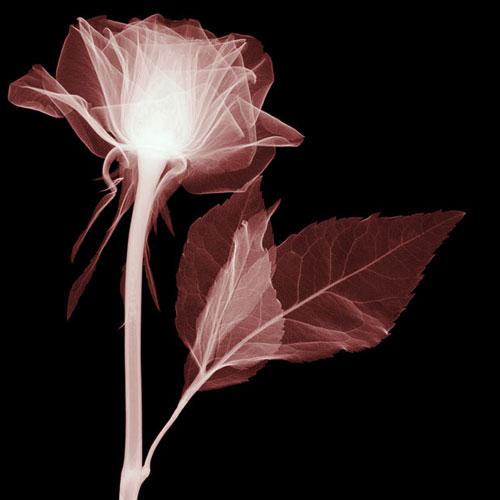 iskusstvo  Рентген цветы