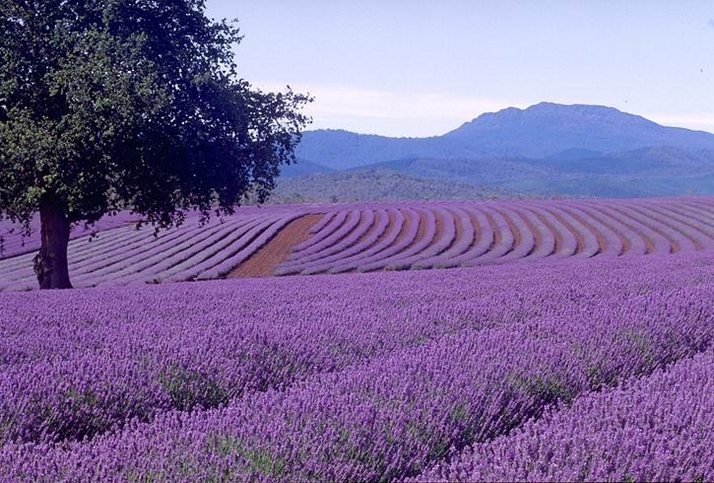 Lavender Beautiful lavender farm