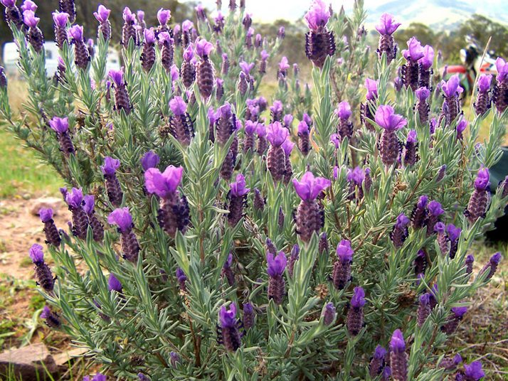 Lavender 3 Beautiful lavender farm