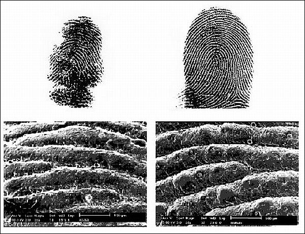interesnyie faktyi  Отпечатки пальцев идентичные человеческим