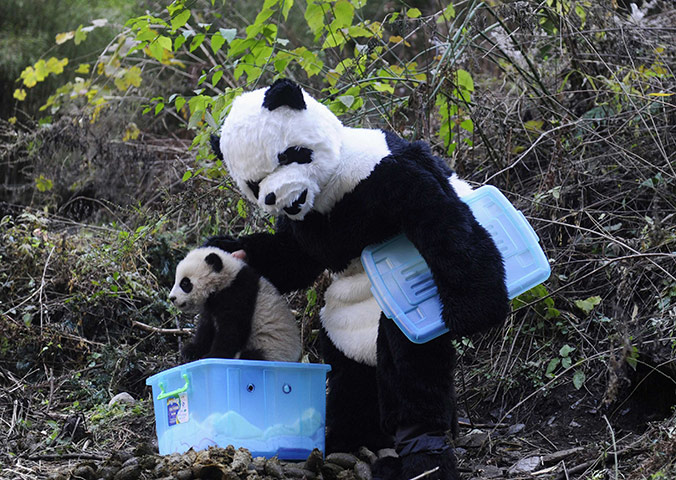 Когда панда на самом деле не панда