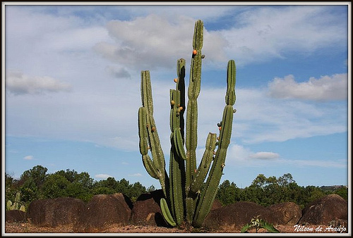 priroda  Немного о кактусах