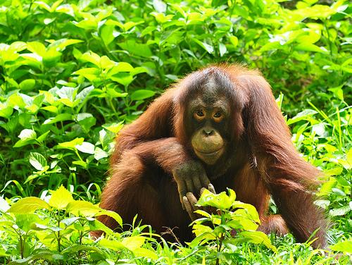priroda zhivotnye  Про обезьян
