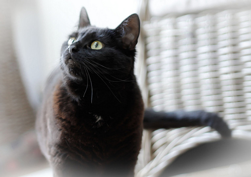 zhivotnye  Факты и суеверия про черную кошку