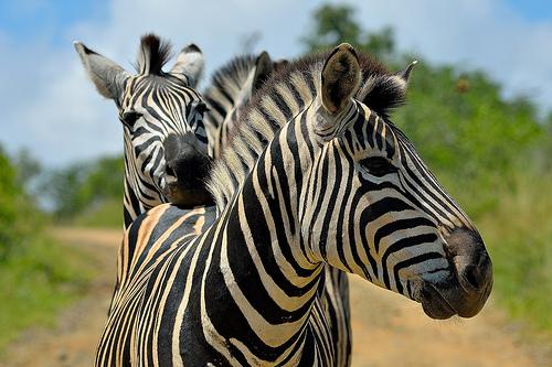 zhivotnye  Интересные факты про зебру.