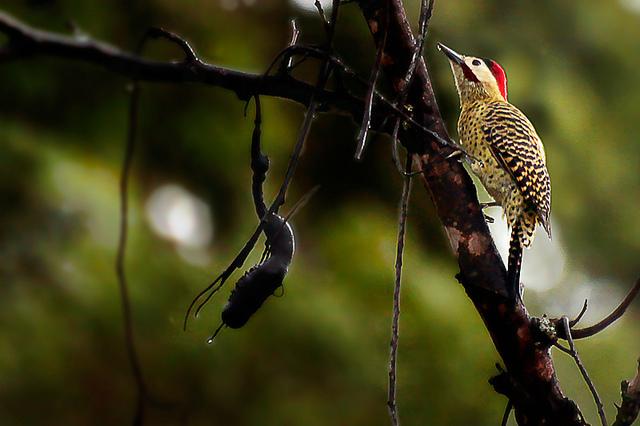 Pica-pau-carijó ou pica-pau-verde-barrado (Colaptes melanochloros) - Carpintero Real - Green-Barred-Woodpecker - Fauna - Brasília/Brasil