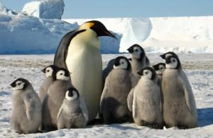 zhivotnye  Почему пингвины не мерзнут.