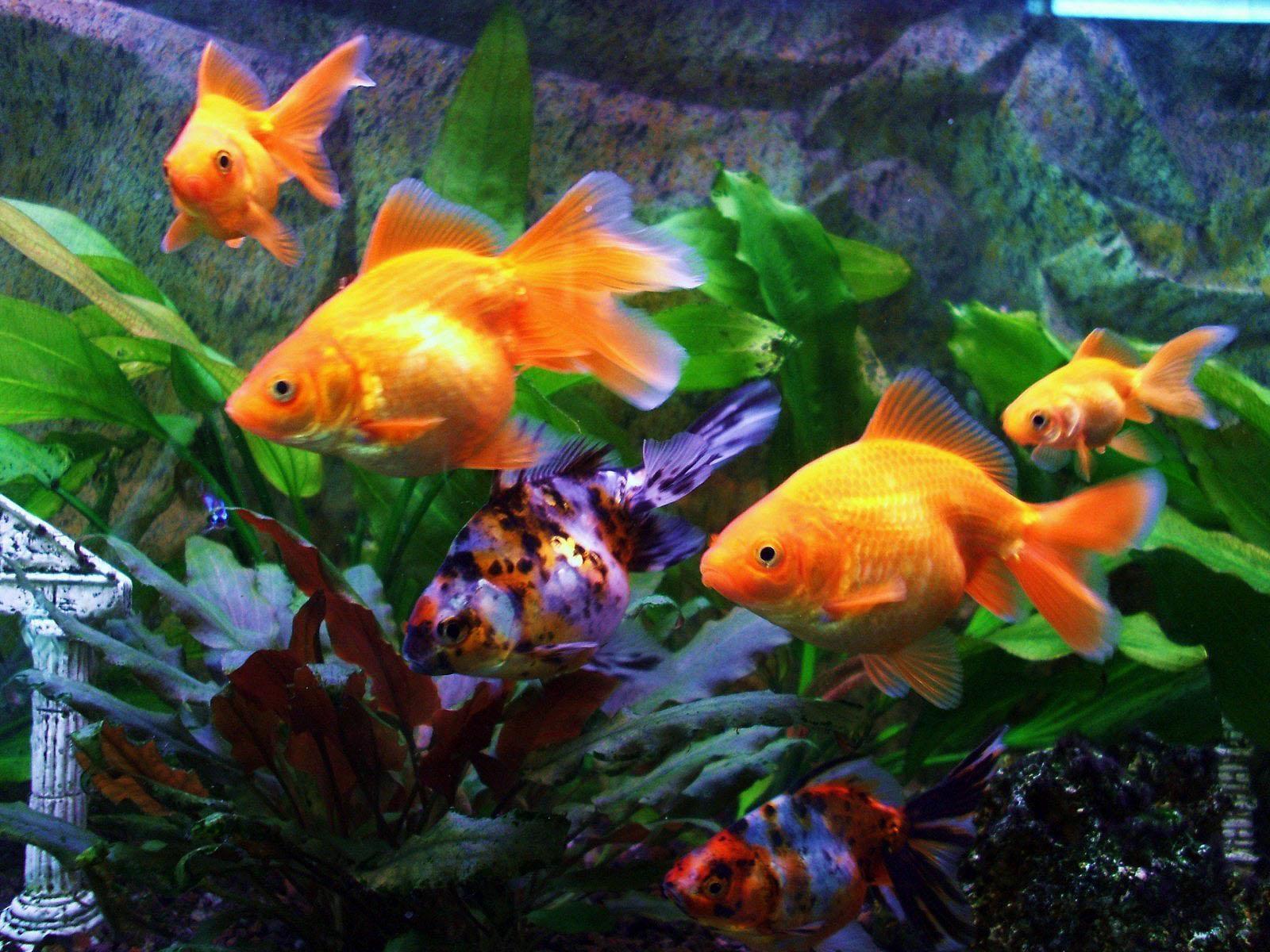 uncategorized zhivotnye  Как правильно кормить декоративных рыб
